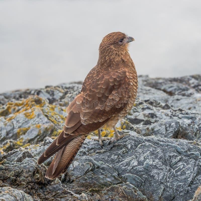 Falcon Chimango Caracara in Tierra del Fuego National Park, Arge stock photography