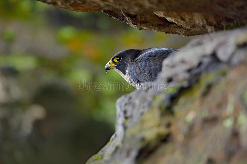 Falcon in the Czech mountain Ceske Svycarsko National Park. Bird of prey sitting on rocky ledge. Wildlife scene with stone. Peregr royalty free stock photography