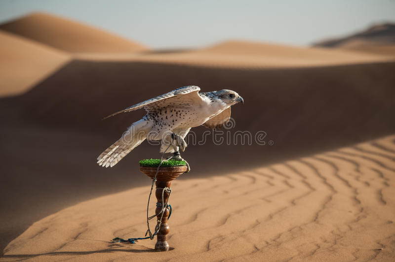 Falcon in desert royalty free stock photos
