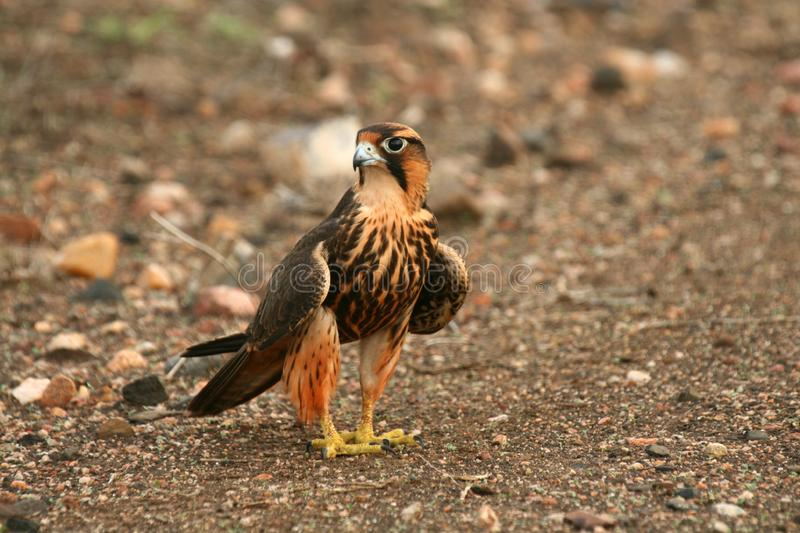 Falcon on Dirt Road