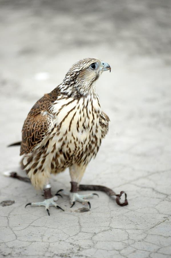 Falcon in latin