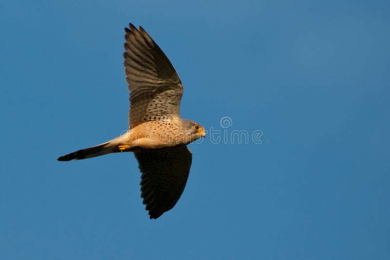 Falcon in flight. Raptor bird of prey stock images
