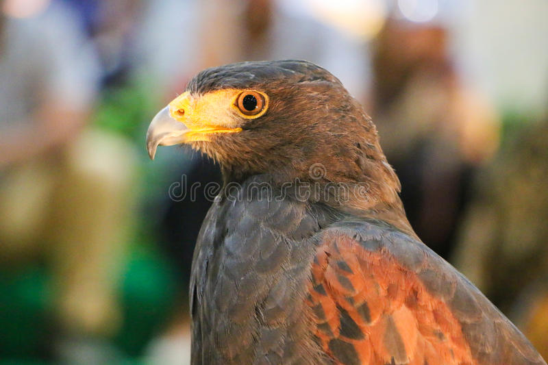 Falcon royalty free stock images