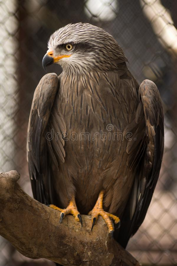 Falcon in cage royalty free stock photos