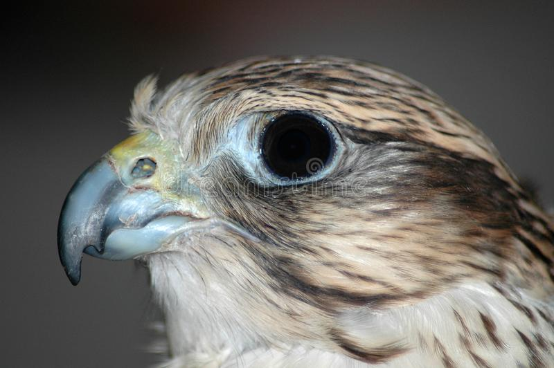 Download Falcon Head 2 stock photo. Image of staring, trained, brown - 2256536