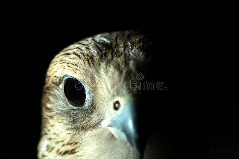Download Falcon Head stock photo. Image of arabs, feather, dangerous - 2256550