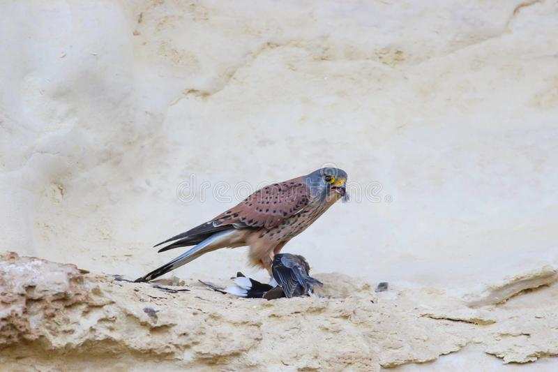 Falcon with his prey bird. Predator falcon with his missrible pray who been cought by his deadly legs royalty free stock photo