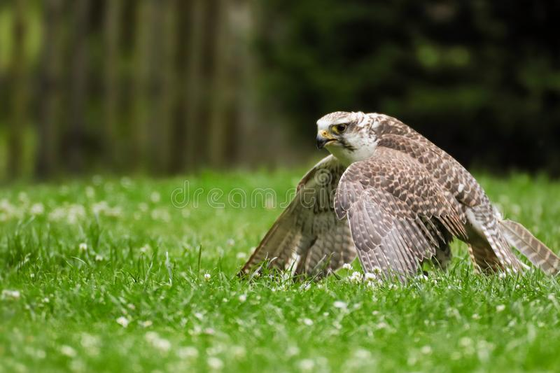 Falcon after hunting in the grass royalty free stock photography