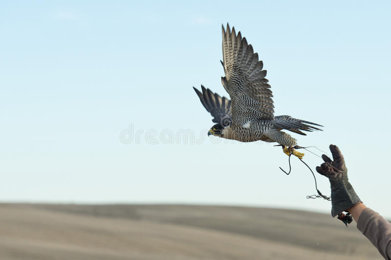 Falcon jumping into flight stock image