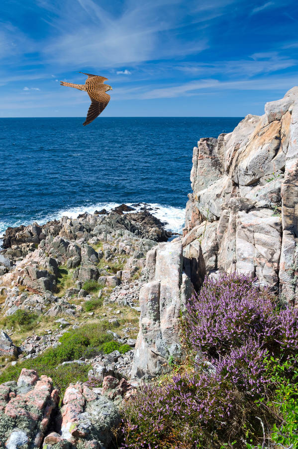 Falcon over the Swedish coast stock photo