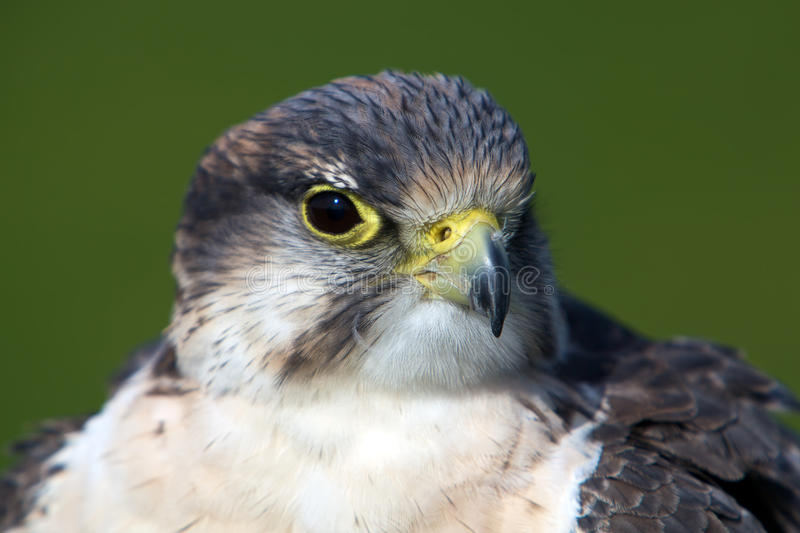 Download Falcon portrait stock image. Image of beautiful, outdoors - 11375051