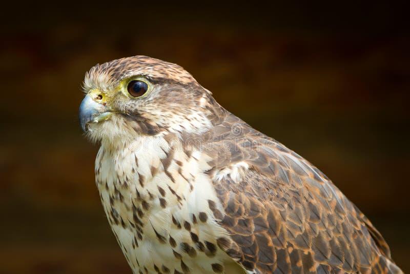 Download Falcon portrait stock image. Image of freedom, head, beautiful - 25966375