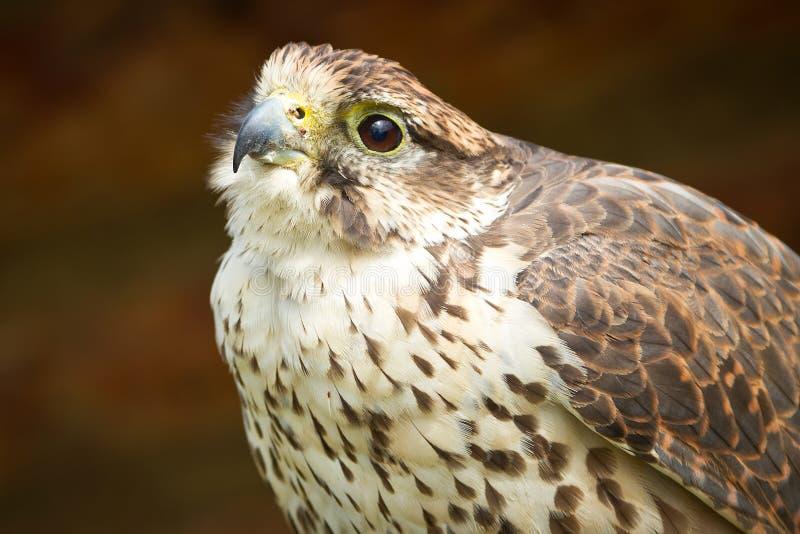 Falcon portrait royalty free stock photography
