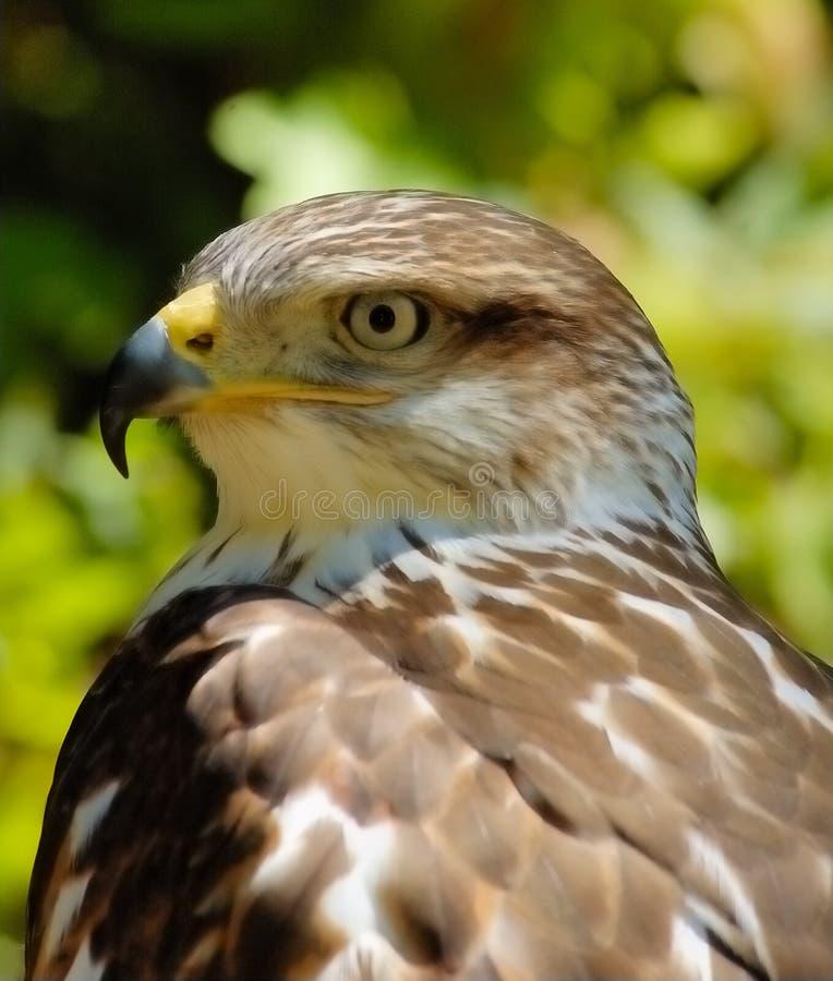 Free Falcon (portrait) Stock Photo - 3060170