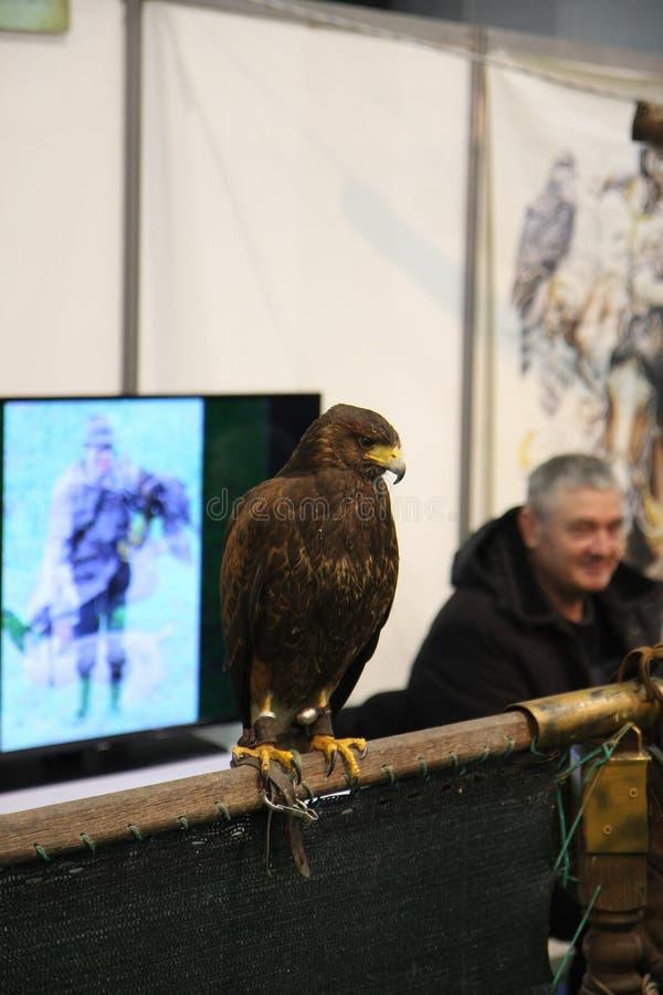 Falcon posing at Belgrade fair. BELGRADE,SERBIA-MARCH 12,2017: Falcon posing at the stand of Serbian Falcon Society at 39th International Boat Show, hunting and royalty free stock image
