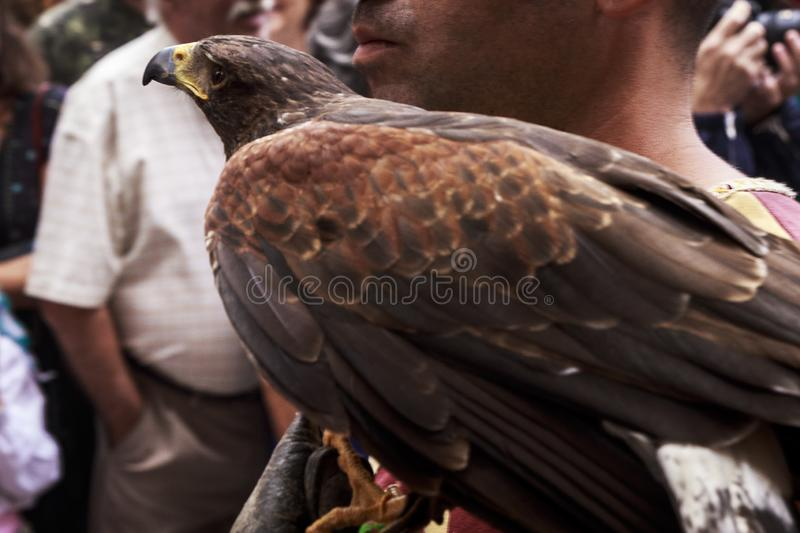 Falcon posing on a man`s shoulder calmly in an exhibition. In a city stock photo
