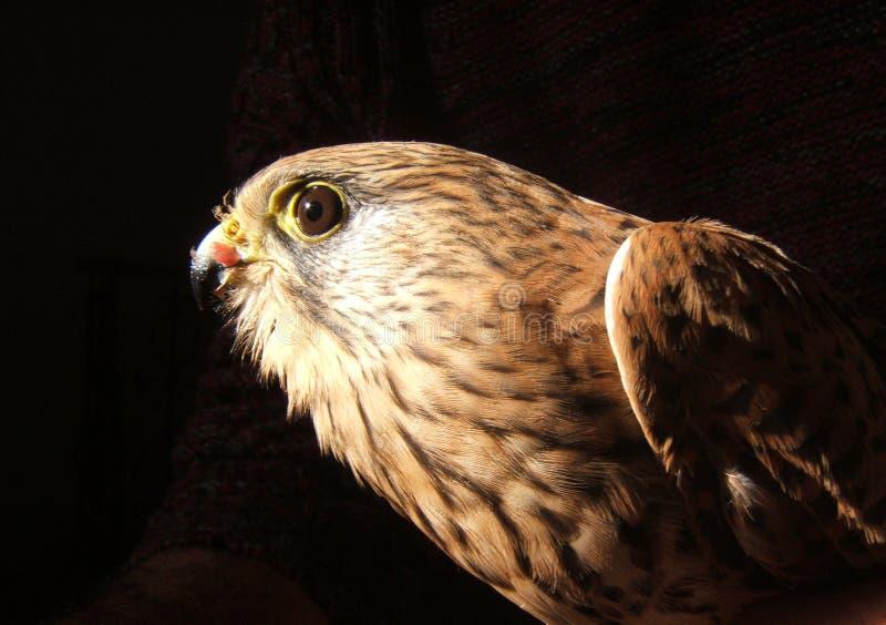 Falcon profile stock photo