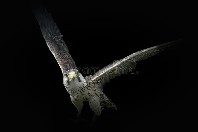 The Falcon returns. A falcon seen at the Chester Falconry centre, England. One of many raptors to be seen, from a barn owl to a golden eagle royalty free stock image