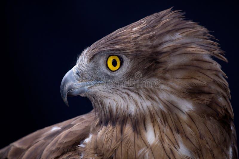 Falcon Saheen. Oman is rich in environmental diversity, Falcon Saheen is a famous bird stock image