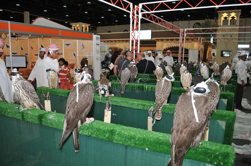 Falcon show at Abu Dhabi International Hunting and Equestrian Exhibition (ADIHEX). 2013 royalty free stock images