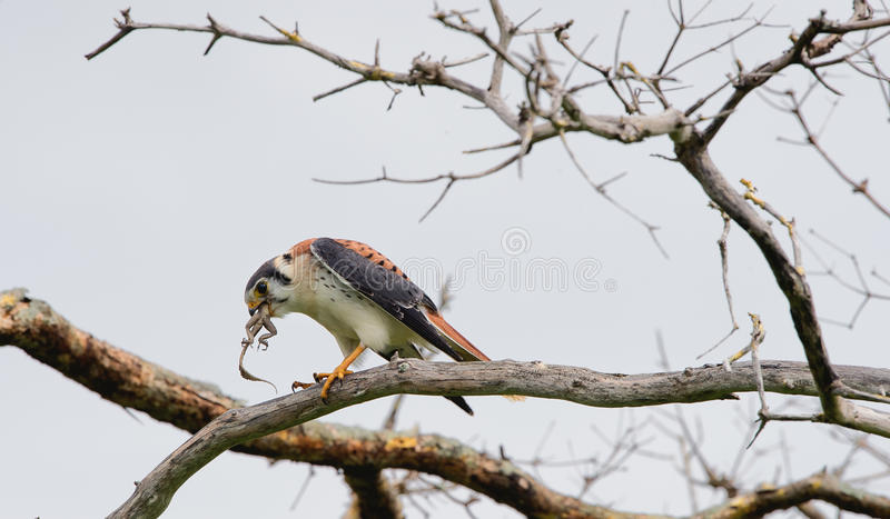 Falcon sits on a branch and eats a lizard stock photography