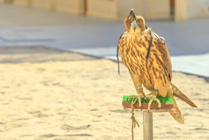 Falcon at Falcon Souq royalty free stock photography
