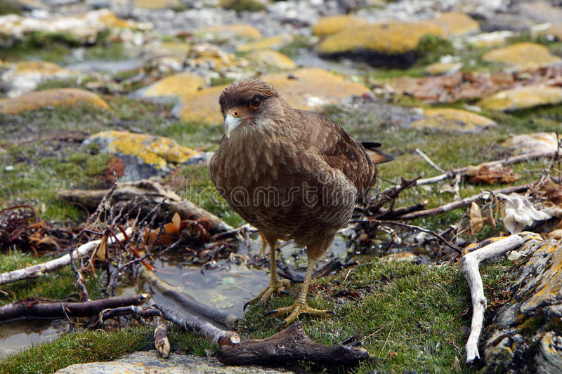 Download Falcon In Ushuaia Stock Photography - Image: 20711952