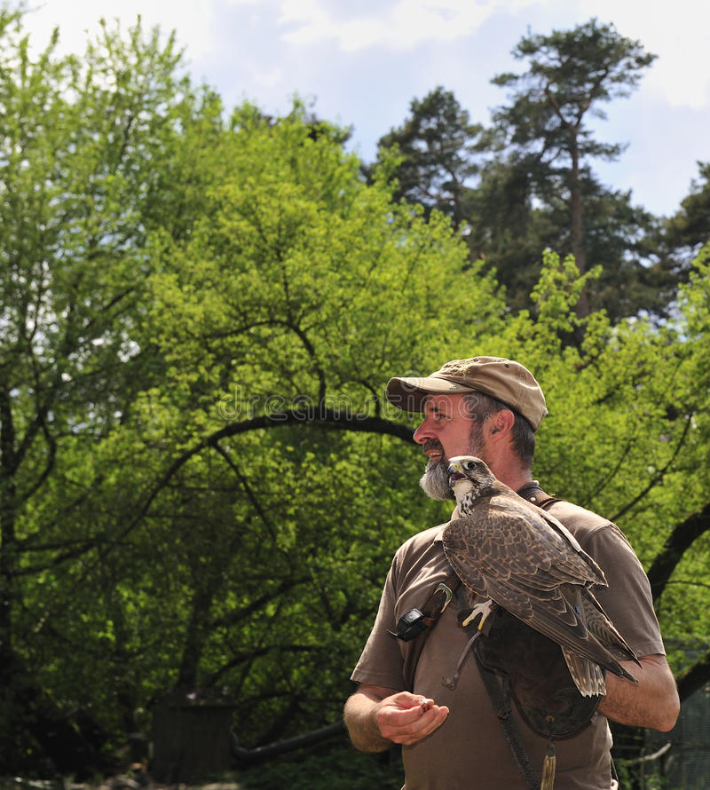 Falconer with falcon falco cherrug . Falconer with falcon in Falconry Harz,Burg Regenstein,Germany stock images