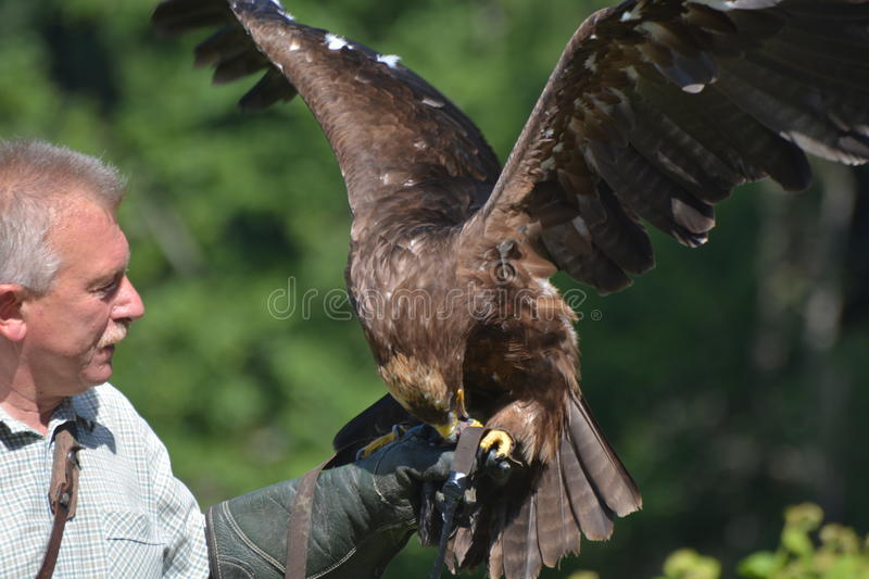 Falconer With Falcon. This is one of the falconers of the Pfaender, the local mountain in Bregenz, Austria. They have bird shows which attract many visitors from stock images