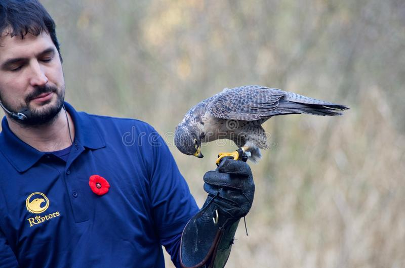 Falconer holds male peregrine falcon with gloved hand royalty free stock photography