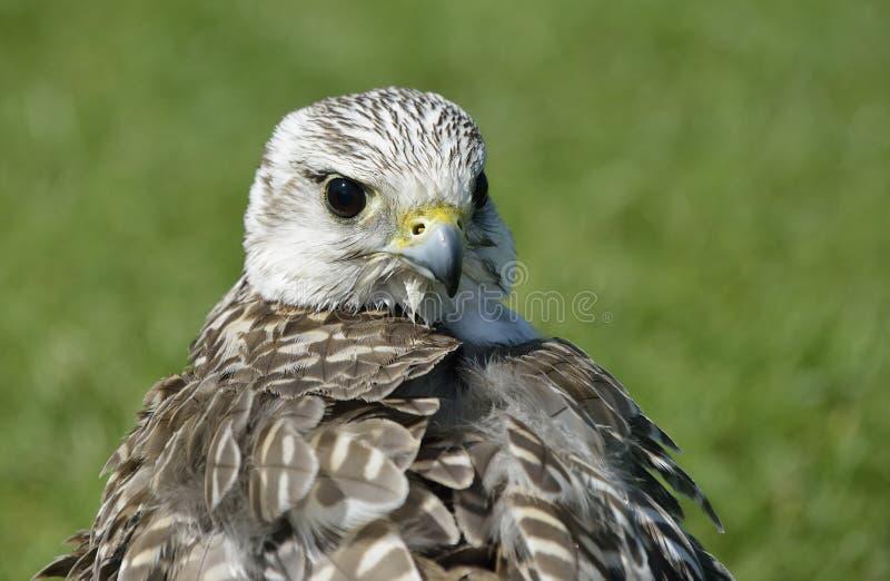 Falconer& hybride x27 ; faucon de s photos libres de droits