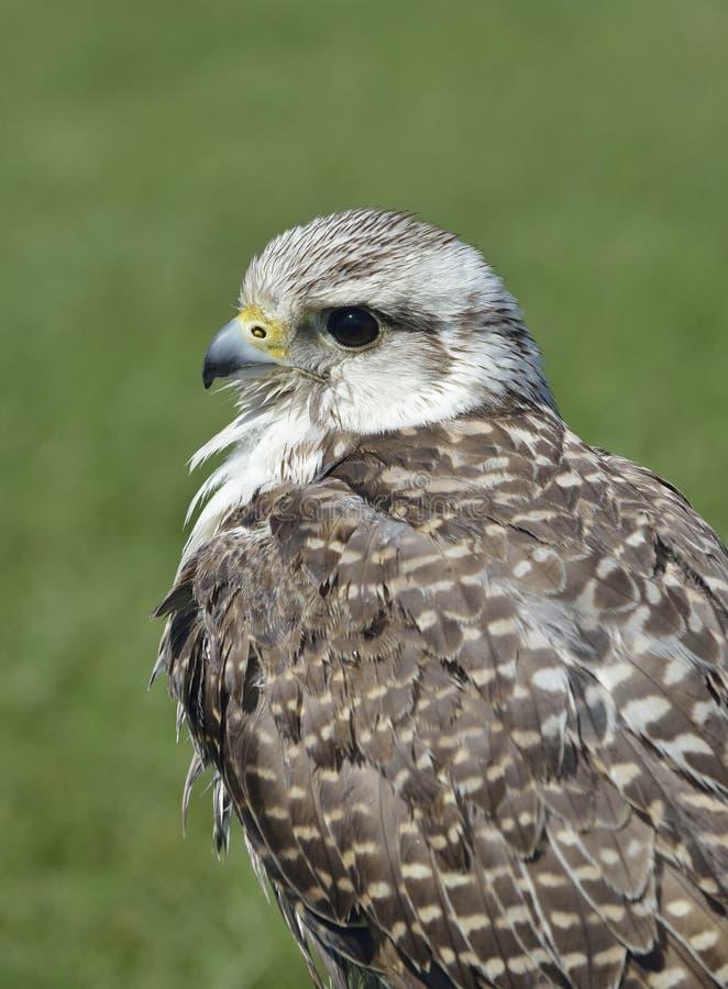 Falconer& hybride x27 ; faucon de s image libre de droits