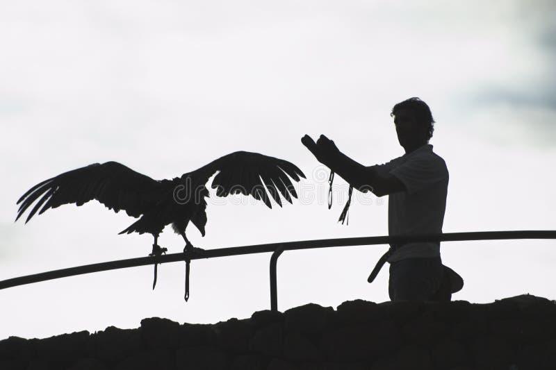 falconera obrazy royalty free