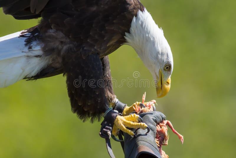 falconry Águila calva americana en un guante del ` s del halconero en el pájaro de p fotos de archivo libres de regalías