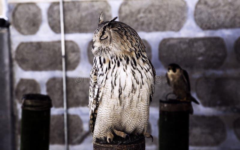 Falconry сыча реальный стоковое изображение rf