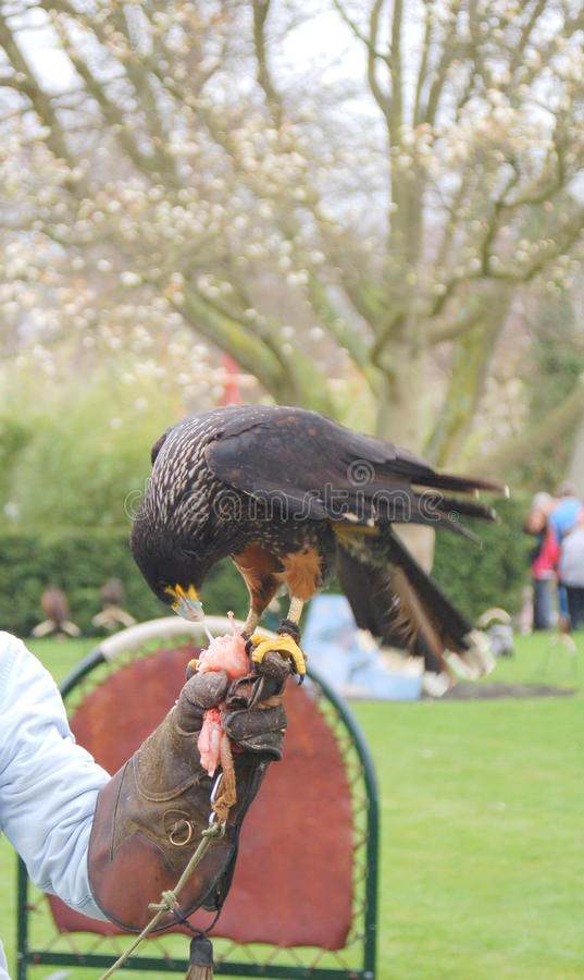 Download Falconry stock image. Image of glove, falconer, hunt - 11958063