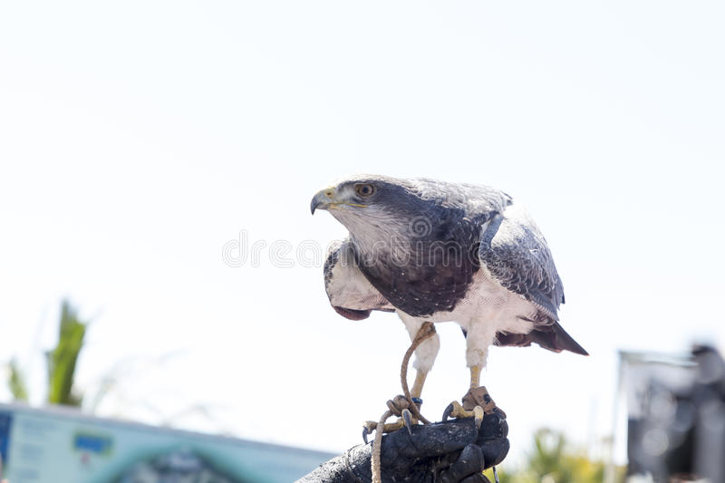 falconry fotos de stock royalty free