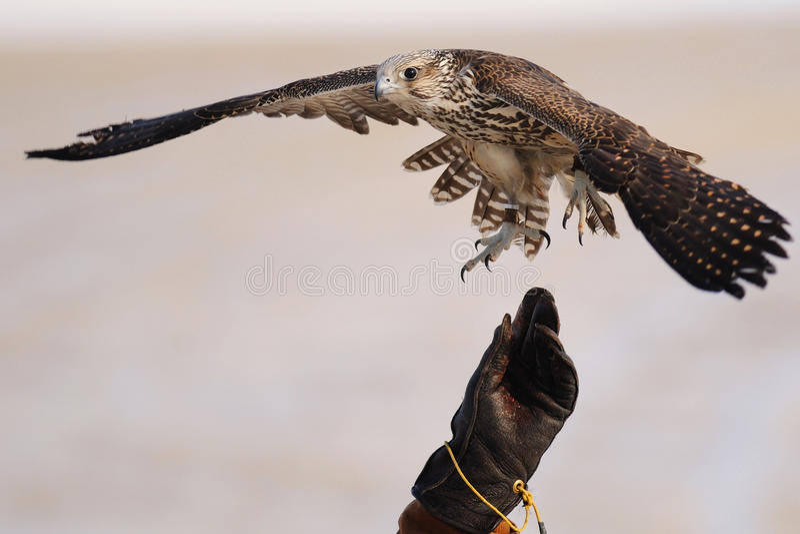 falconrygyrfalcon royaltyfria bilder