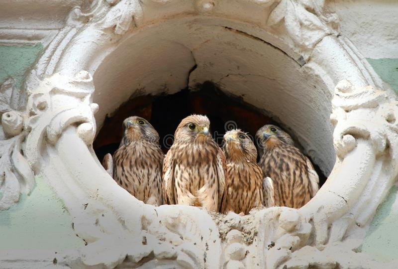 Falcons jovenes fotografía de archivo