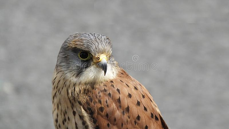 Falcons kestrel stock photo
