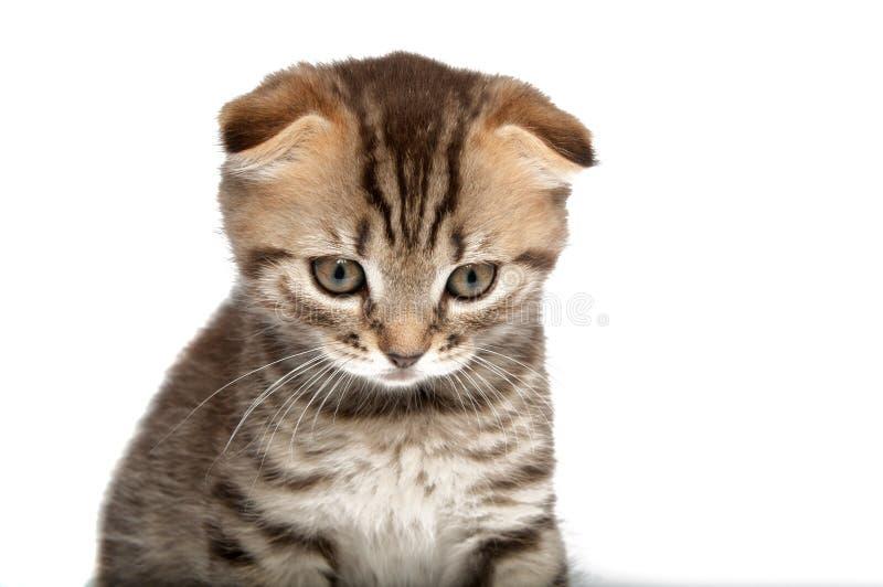 Falcowanie kot na bielu obraz royalty free