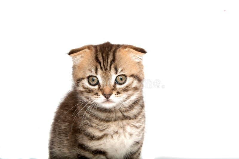 Falcowanie kot na bielu fotografia stock