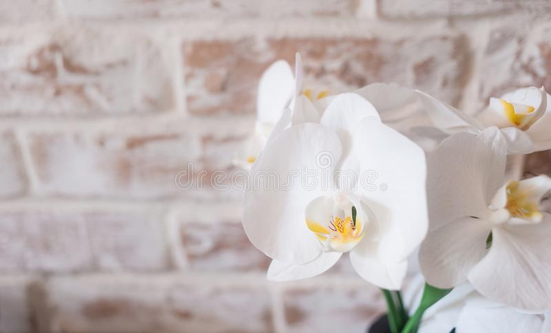 Falenopsis against the background of a brick wall royalty free stock photography