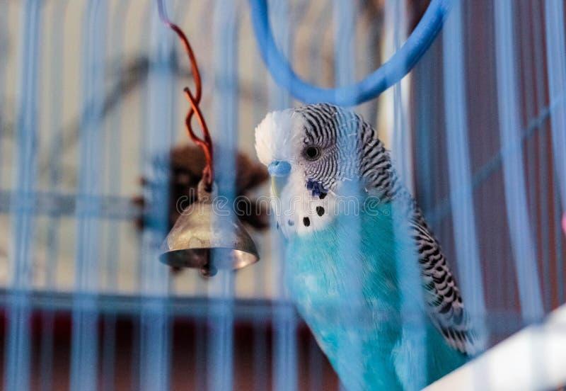 Falista papuga w klatce obraz stock