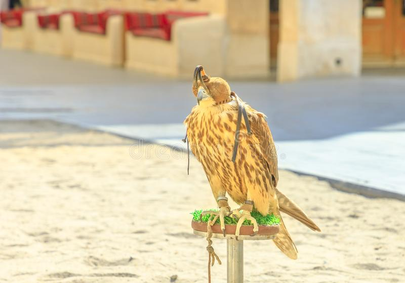 Falk i Doha fotografering för bildbyråer