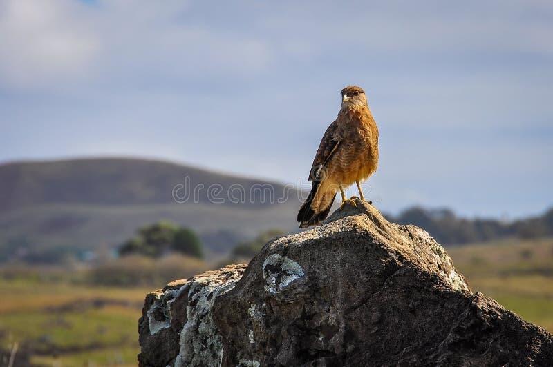 Falk på kusten av påskön, Chile fotografering för bildbyråer