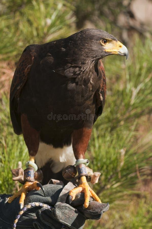 Falkar hökar fotografering för bildbyråer