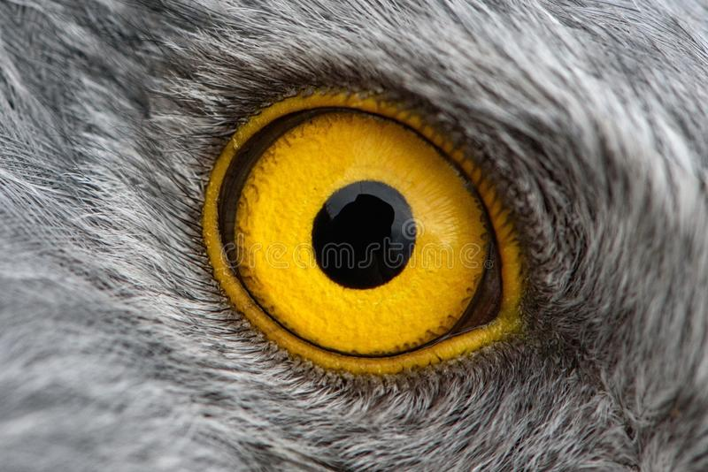 Falkblicknärbild, makrofoto, öga av den manliga nordliga engelska harhunden royaltyfria foton