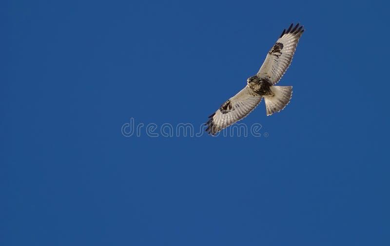 Falke auf der Jagd lizenzfreies stockfoto