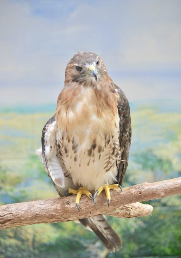 Falke auf einer Stange lizenzfreie stockbilder